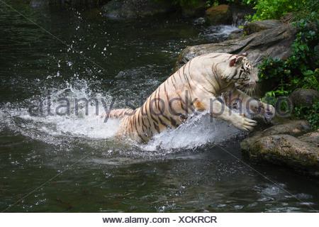 Tigre del Bengala (Panthera tigris tigris), saltando fuori dall'acqua, morph bianco Foto Stock