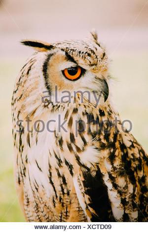 Close-Up del Gufo reale all'aperto Foto Stock