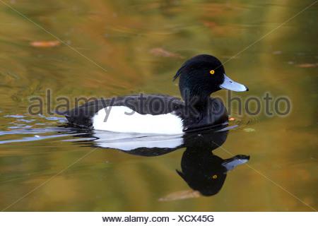 Moretta (Aythya fuligula), nuoto maschio, Germania Foto Stock