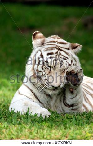 Tigre del Bengala o Royal tigre del Bengala (Panthera tigris tigris), Adulto, India, Asia Foto Stock