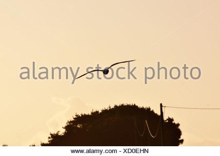 Seagull al tramonto Foto Stock