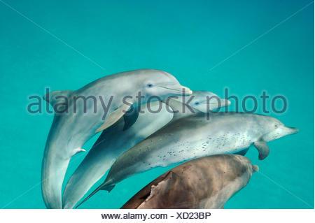 Interspecies accoppiamento tra macchiato atlantico e delfini Bottlenose Dolphin nelle acque al largo di Bimini nelle Bahamas. Foto Stock