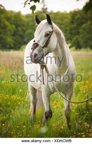 POA, Pony delle Americhe, mare in puledro, White Horse indossando un Bosal hackamore, una briglia bitless utilizzato in stile occidentale a cavallo