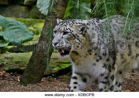 Snow Leopard a piedi nella foresta del Himalaya Foto Stock