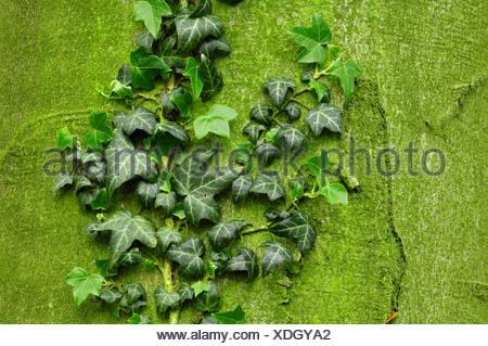 Ivy Foto Stock