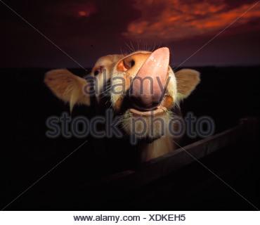 ANIMALE DELLA MUCCA Foto Stock