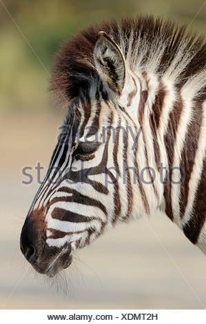 Chapman's zebra (Equus quagga chapmani, Equus burchellii chapmani), ritratto, nativo di Zimbabwe, Botswana e Zambia, captive