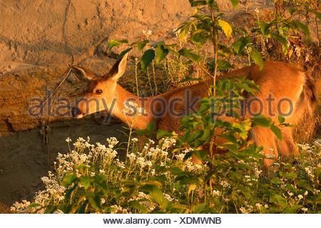 Blacktail deer, Fort Flagler State Park, Washington. Foto Stock