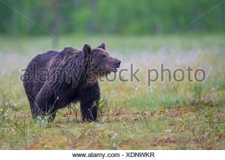 Unione l'orso bruno (Ursus arctos arctos), maschio, Finlandia, Carelia, Suomussalmi Foto Stock
