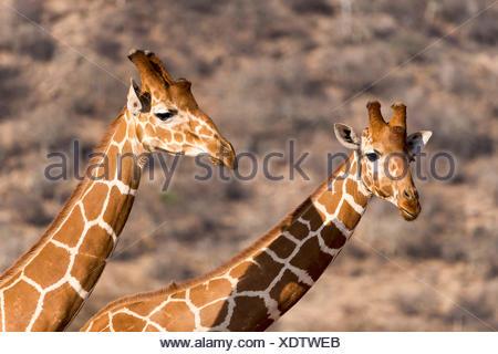 Le giraffe reticolate o giraffe somala (Giraffa camelopardalis reticulata), Ritratto, Samburu riserva nazionale, Kenya Foto Stock