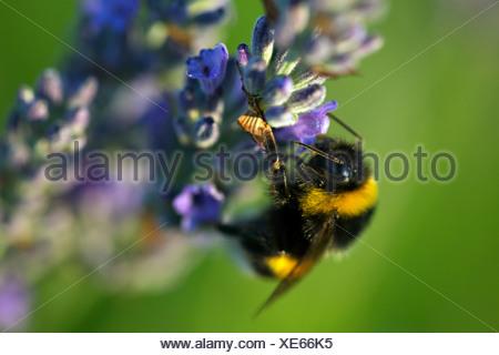 Bumblebee nel campo di lavanda, isola Hvar, Croazia, Europa