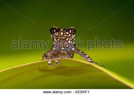 Foto di una collina Tukeit rana in appoggio su una foglia verde contro uno sfondo verde Foto Stock