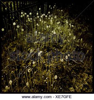 Il tarassaco in presenza di luce solare Foto Stock
