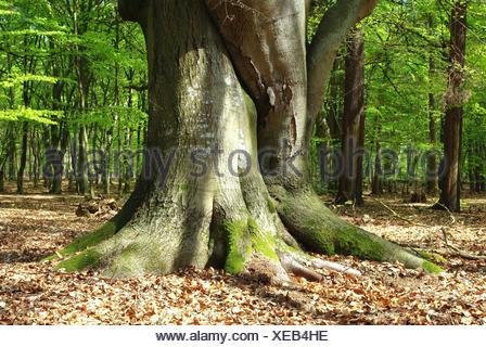 In foresta darßer fischland-Zingst Foto Stock