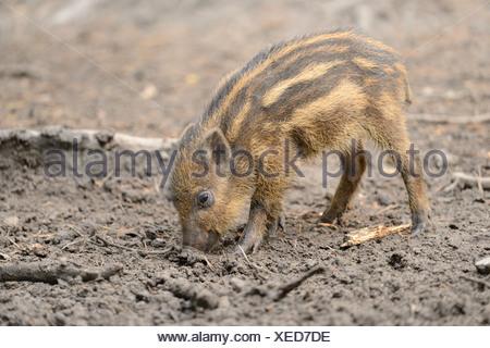 Il cinghiale (Sus scrofa) piglet in una foresta Foto Stock