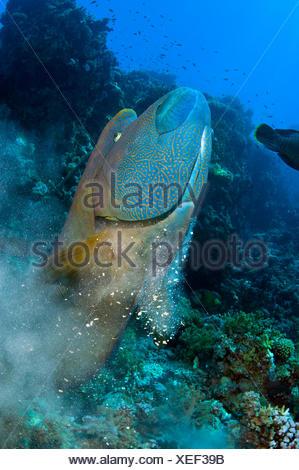 Titan pesci balestra balistoides viridescens mangiare for Uova di pesce rosso