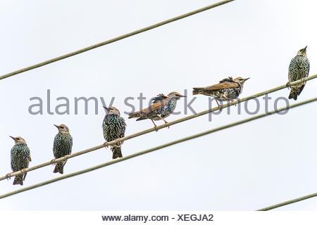 Starling comune (Sturnus vulgaris), storni su una linea ad alta tensione, in Germania, in Renania settentrionale-Vestfalia Foto Stock